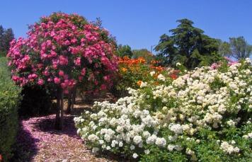 san-jose-heritage-rose-garden (1)